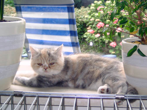 Athina van Syltin's Huis: Exotic poes, Blue créme silver tabby/white