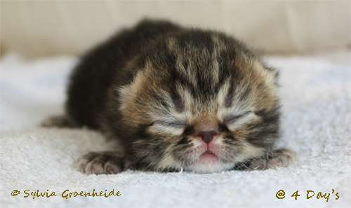 Chanel van Syltin's Huis: Exotic Black tabby poes @ 4 Days