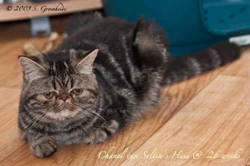 Chanel van Syltin's Huis: Exotic Black tabby poes