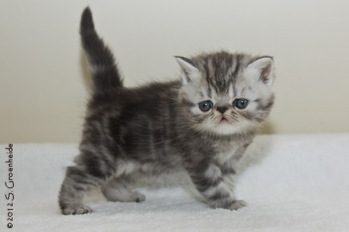 Kitten 4: Black silver tabby blotched katertje