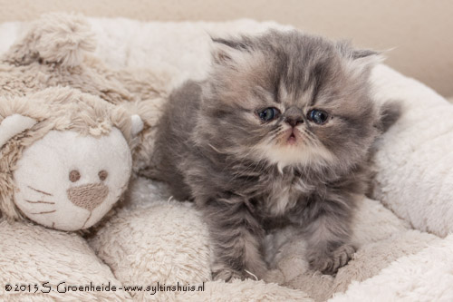 Thor van Syltin's Huis: Persian male, blue tabby blotched @ 04 weeks