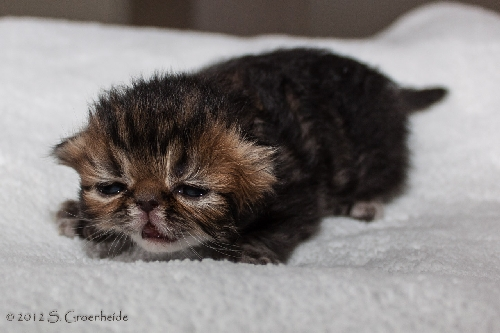 Otto van Syltin's Huis: Persian? male, black tabby blotched @ 12 days