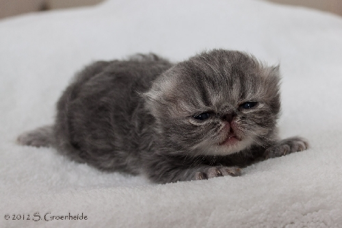 Thor van Syltin's Huis: Persian? male, blue tabby blotched @ 12 days