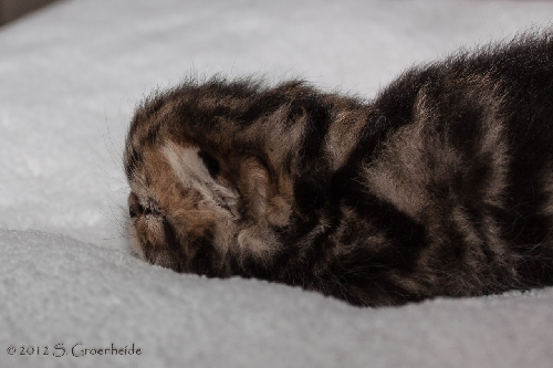 Sven van Syltin's Huis: Exotic male, black tabby blotched @ 12 days