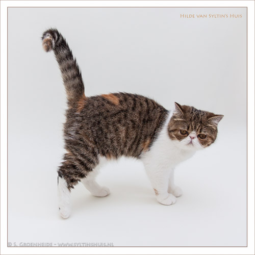 Hilde van Syltin's Huis, Exotic black tortie tabby spotted/white poes