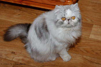 Patches van Syltin's Huis, Black silver tabby harlequin Persian female