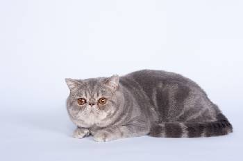 CH San Fe Jean: Exotic Blue tabby blotched